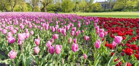 Photo pour Pré des tulipes à Rotterdam Park, Pays-Bas . - image libre de droit