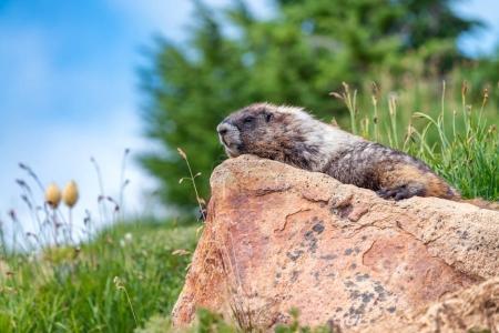 Photo pour Beau cadre d'observation des marmottes. Scénario montagne . - image libre de droit