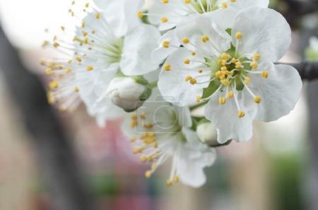 Spring Apple Tree Blossom