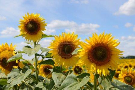 Photo pour Le champ de tournesols et les nuages en Ukraine - image libre de droit