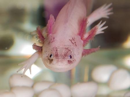 Portrait of an axolotl in aquarium close up...