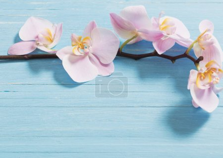 orchid on blue wooden background
