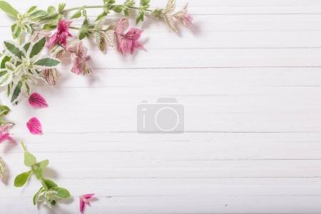 Photo pour Sauge décorative sur fond de bois blanc - image libre de droit