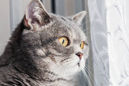 british cat looking out the window