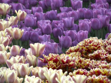 Photo for Flowers. Spring tulips. Very beautiful image. - Royalty Free Image