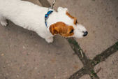 old Jack Russell Terrier   on a leash