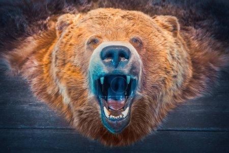 Photo pour Tête d'ours et peau. Trophée de chasse. Photo tonique rétro . - image libre de droit