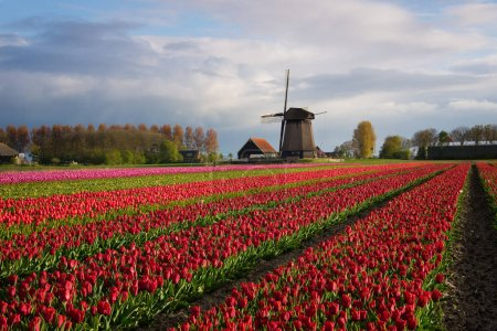 Photo pour Rangées diagonales de tulipes colorées en rouge et rose dans un paysage avec un champ de fleurs et un moulin à vent en arrière-plan près d'Amsterdam aux Pays-Bas au printemps . - image libre de droit