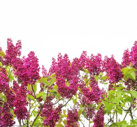 Photo for Close-up of lilac flowers - Royalty Free Image