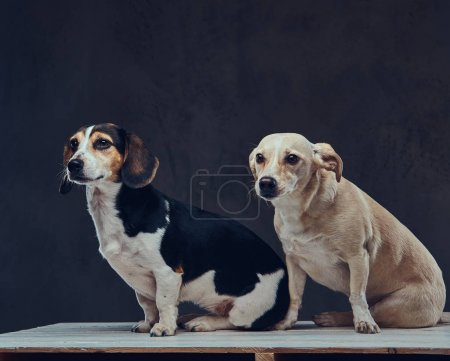Portrait of two cute breed dog on a dark background in studio.