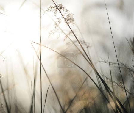 Photo pour Printemps ou été abstrait fond de nature avec de l'herbe dans la prairie et le ciel couchant dans le dos - image libre de droit