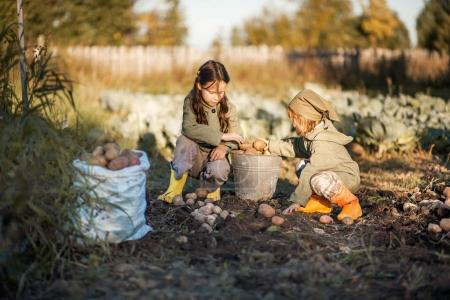 Photo for The Children on the harvest of potatoes. - Royalty Free Image