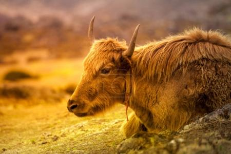 Close up portrait of Yak on the way to Everest