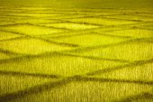 Wheat field with crossing rows. Background.
