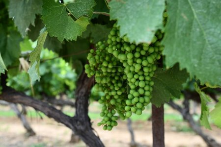 Photo pour Mûrissement de raisins blancs non mûrs au vignoble en Provence, France - image libre de droit