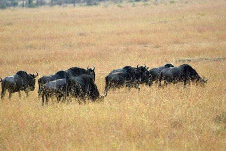 Wildebeest in Kenya, Masai Mara