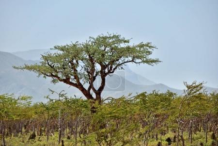 Boswellia, frankincense tree, Socotra island, Yemen