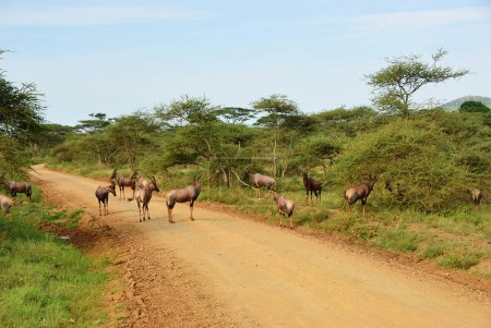 Antelopes Topi in Serengeti, Tanzania