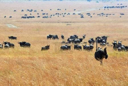 Kenya, Masai Mara
