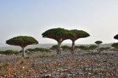 """Постер, картина, фотообои """"Эндемическое дерево Дракона острова Сокотра в йеменском городе"""""""
