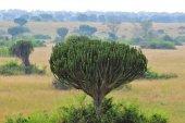 Candelabra Tree or Euphorbia, Uganda, Africa