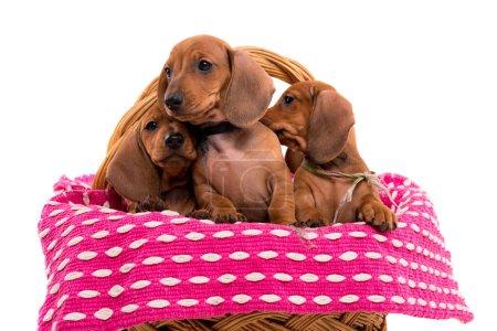 beautiful teckel puppies