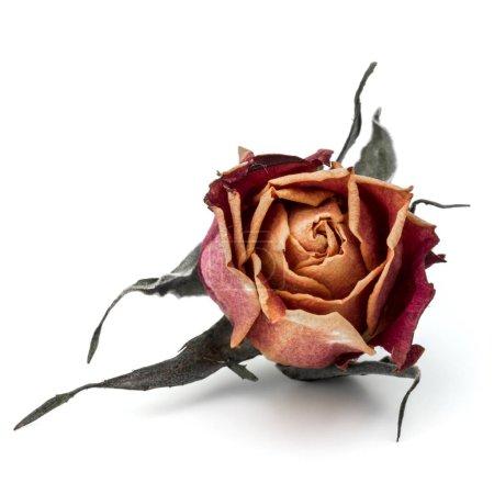 Photo pour Bourgeon de fleur de rose séchée isolé sur fond blanc - image libre de droit