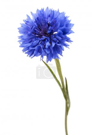 Photo for Blue Cornflower Herb or bachelor button flower head isolated on white background cutout - Royalty Free Image