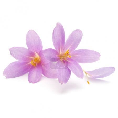 lilac crocus flowers