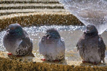 Photo pour Trois Pigeons sont assis près de la fontaine - image libre de droit