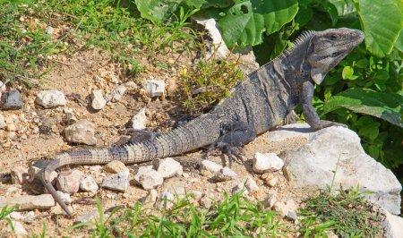 Wild Iguana on rocks