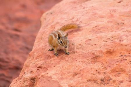 Chipmunk on red rock