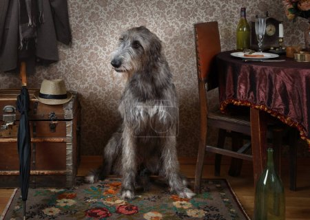 Two years old Irish wolfhound dog indoors