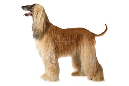 Thoroughbred Afghan hound dog standing in show pos...