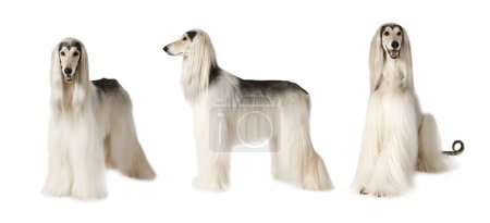 Photo collage of white Afghan hound dog, studio sh...