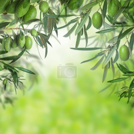 Green olive tree closeup on abstract bokeh background