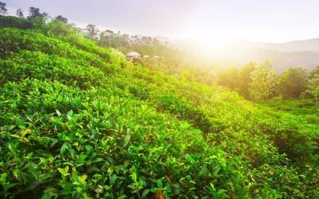 green fields of tea