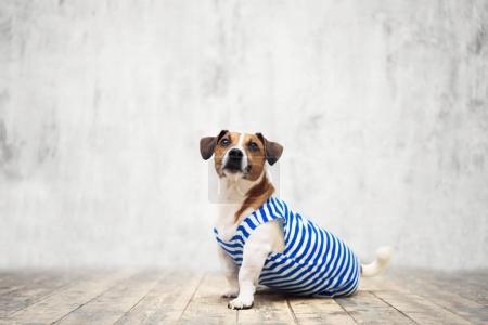Small terrier in studio