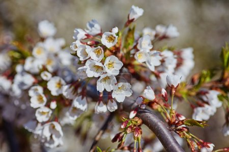 Photo for Spring blossom background. Beautiful nature scene with blooming tree and sun flare. Sunny day. Spring flowers. Beautiful Orchard. Abstract blurred background. Springtime - Royalty Free Image