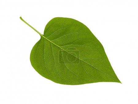 Photo pour Feuille de lilas vert isolée sur fond blanc - image libre de droit
