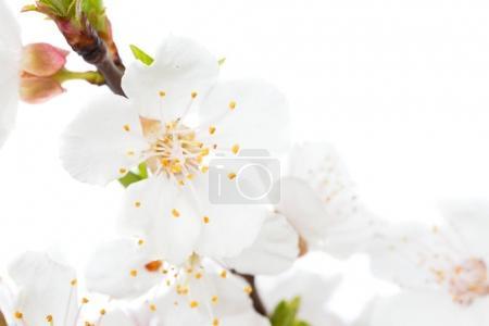 Branch of cherry white flowers
