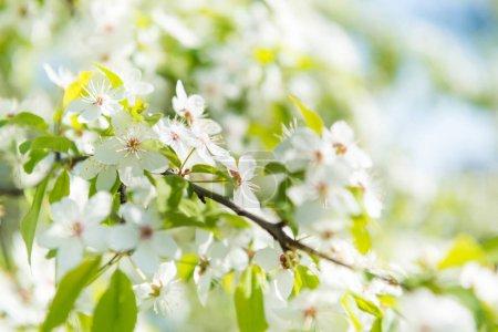 White flowers on blossom cherry tree