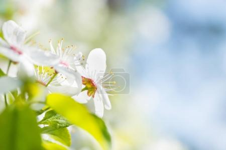 White flowers on blossom cherry tree
