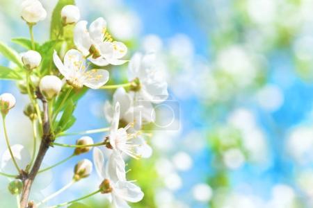 Foto de Flores blancas en el árbol de cerezo de flor con fondo suave - Imagen libre de derechos