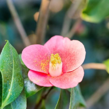 Red spring flower in garden