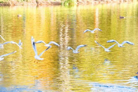Birds gulls in flock flying above water