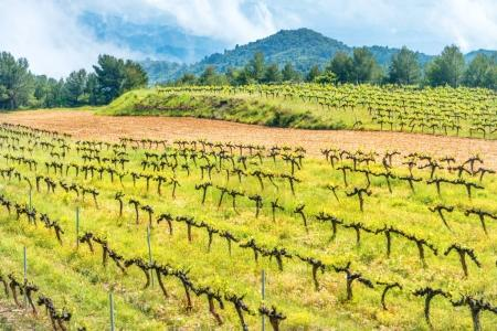 Vineyard with mountains on background