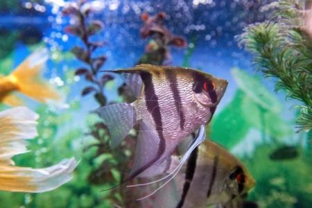 Photo pour Poissons tropicaux Pterophyllum en aquarium avec des plantes - image libre de droit