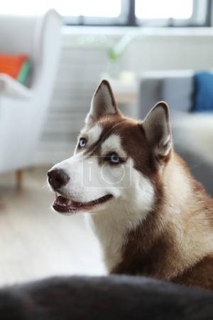 young husky dog