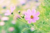 purple beautiful Cosmos flowers